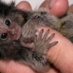 Pigmeul saguin (marmoset) – cea mai mica maimutica din lume!